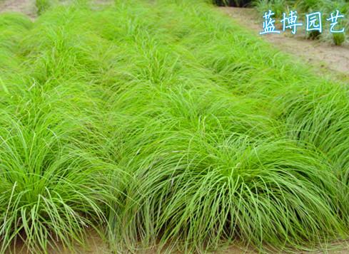 披针叶苔草